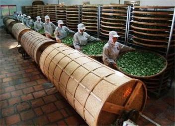 Oolong-Tee-Verarbeitung in Anxi county, Fujian: Welken und Aufbrechen der Blattoberflächen