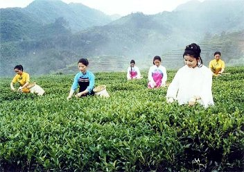 Chinese women picking Tie Guan Yin in Anxi, Fujian, China