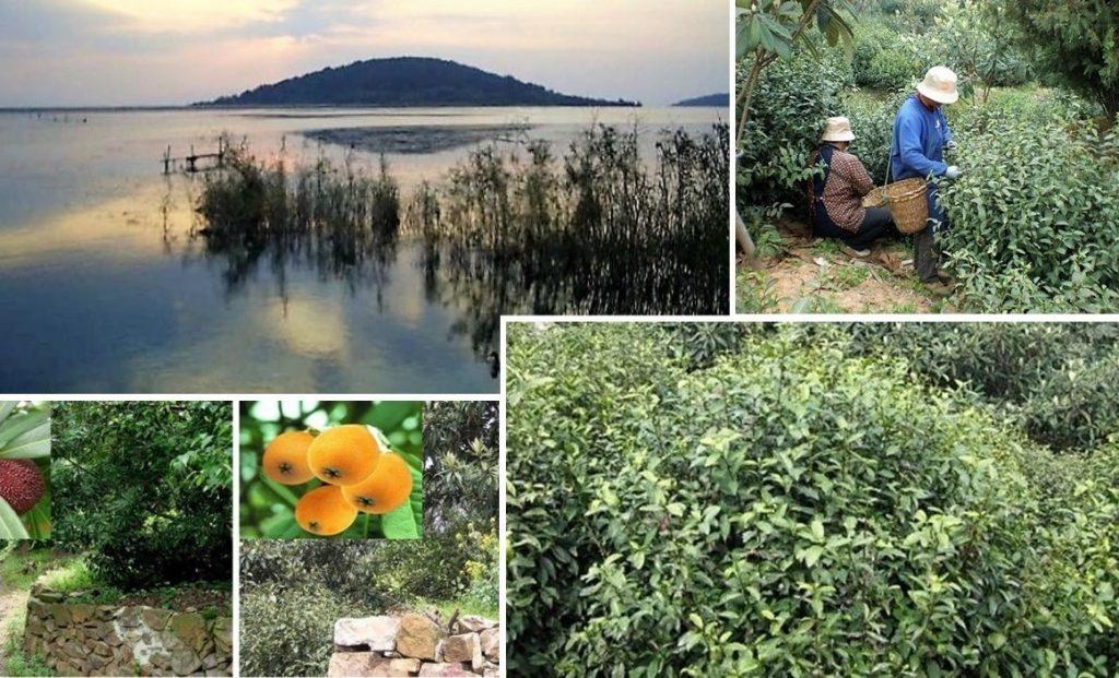 """Lake Tai (""""Tai Hu"""") Dongting Island und Teegarten"""