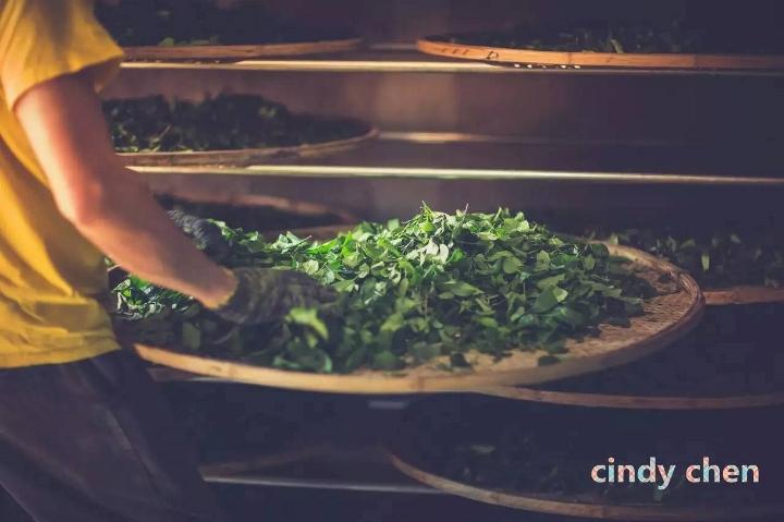Verarbeitung von Wuyi Steintee - Welken der Teeblätter unter ständigem Umschichten und manuellem Aufbrechen der Blattoberflächen