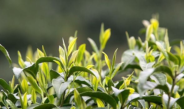 Keemun Teekultivar in Qimen County, Anhui, China - Pflückreife im Frühling