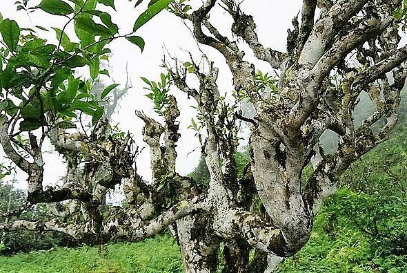 "Alter ""Thuyet Shan"" (""Snow High Mountain"") Teebaum in der Provinz Ha Giang, Vietnam"