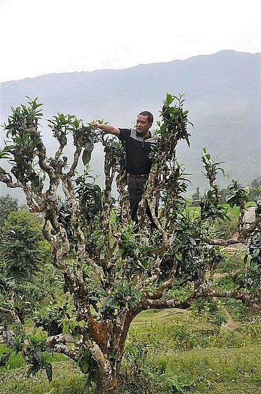 """Pflücken von Teeblättern in der Krone alter """"Thuyet Shan"""" (""""Snow High Mountain"""") Teebäumen"""