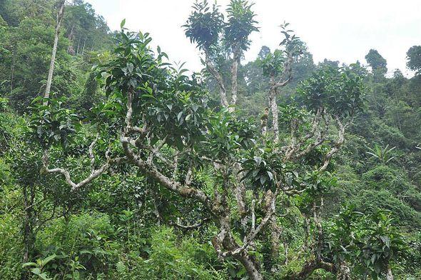 "Wild wachsender alter ""Thuyet Shan"" (""Snow Shan"") Teebaum in Ha Giang, Vietnam"