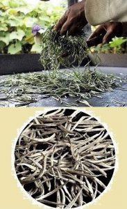 Bolaven Silver Cloud - Weisser Silver Needle Tee vom Bolaven Plateau, Laos
