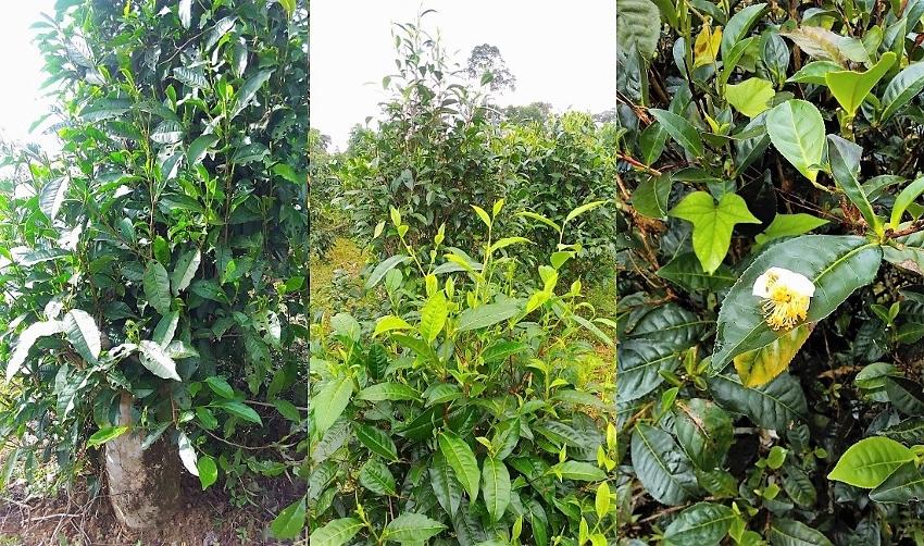 Teebüsche, Bolaven-Plateau, Süd-Laos