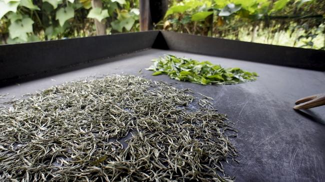 Bolaven Silver Clud Weißer Tee : frische und verarbeitete Teeblätter