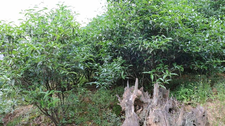 Beidou Da Hong Pao Teebüsche der ersten Ablegergeneration der Mutterbüsche im Teegarten der Familie Chen, Wuyishan, Provinz Fujian, China