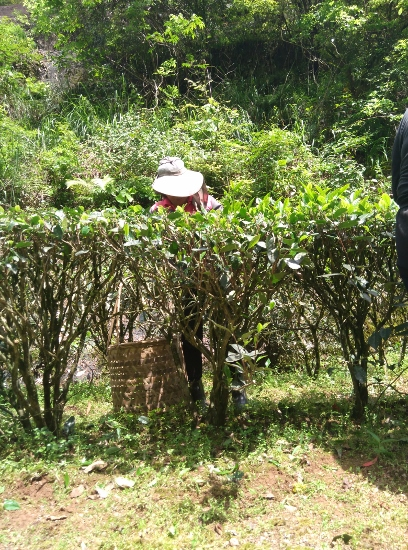 Cindy Chen - Wuyi Rock Tea Bushes
