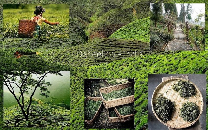 Darjeeling Tee - Teeanbau in Darjeeling