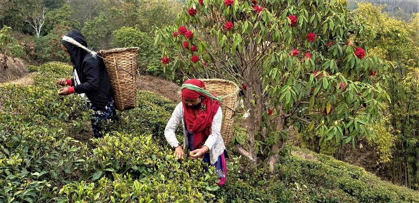 Jun Chiayabari - familienbetriebener organischer Teegarten im Herzen Nepals