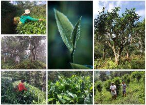 Tee aus naturnaher, wald- und klimafreundlicher Kultivierung
