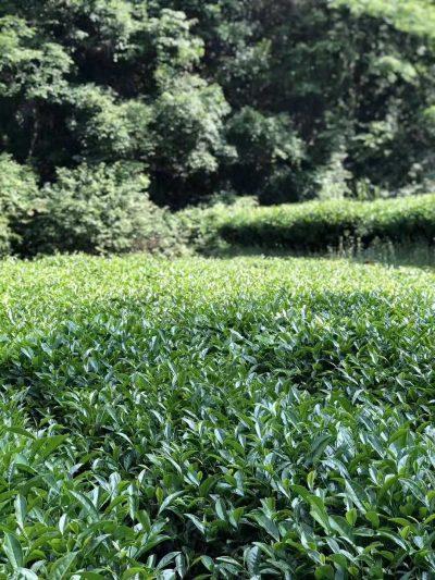 Cindy Chen's Shui Jin Gui Tea Garden @ Liang Hua Peak, Wuyishan
