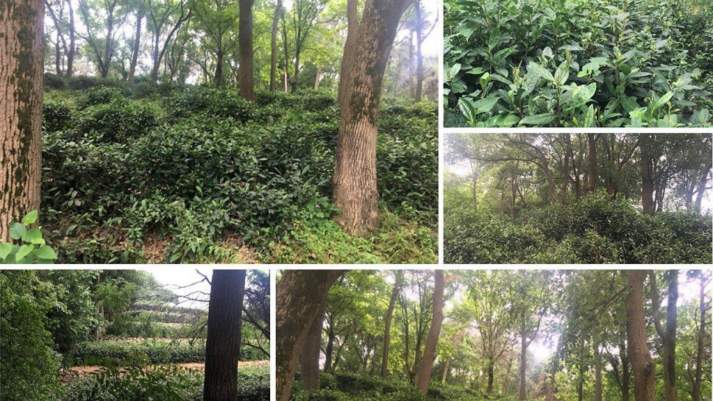 Junshan Yinzhen - Teegarten auf der Insel Junshan