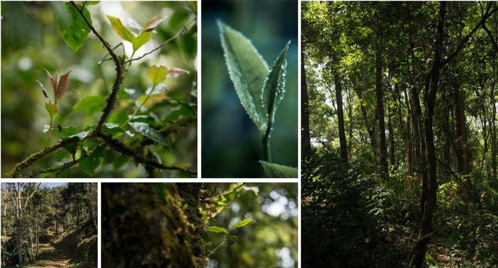 """Wald- und Klimafreundliche """"Teegärten"""" in Nordthailand - Teegärten, die nur für das geübte Botaniker-Auge als solche erkennbar sind"""