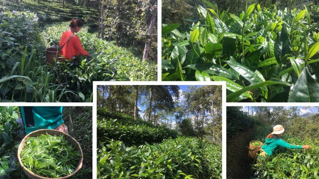 Naturnaher Hochland-Teegarten in Süd-Yunnan