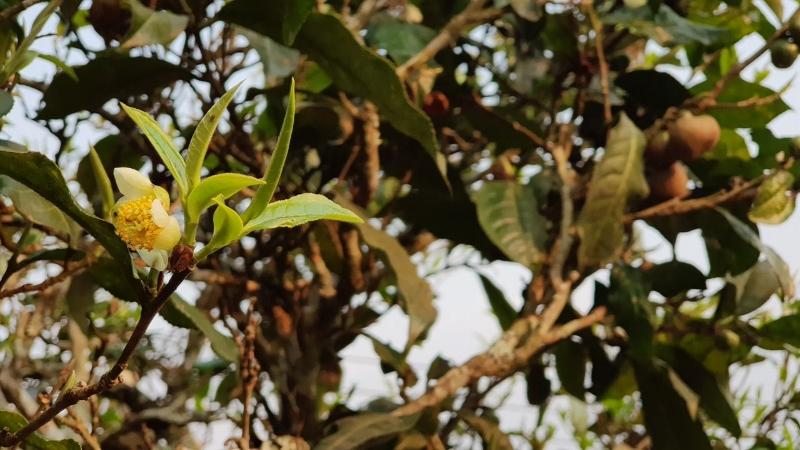 Semi-wilder, vom Samen gewachsener und in einem hochgradig biodiversen Umfeld gedeihender Tee in Xaysathan, Xayabouri, West-Laos