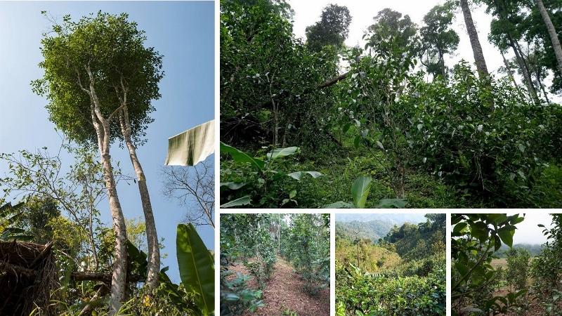 Semi-wilde und unter biodiversen Bedingungen kultivierte Teegärten in Nyot Ou, Pongsaly, Nord-Laos