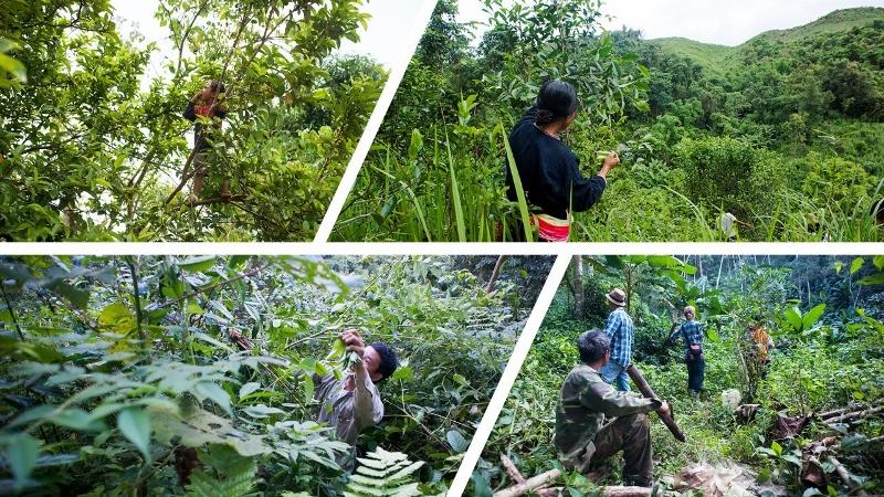 Tee-Pflückung in Nyot Ou - von wild wachsenden und im biodiversen Teegarten kultivierten Tee-Bäumen