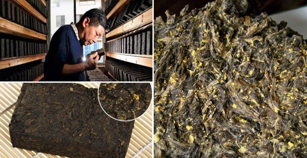 """""""Fahua"""" - """"Einimpfen"""" von Eurotium Cristatum in Fuzhuan Dunkler Tee als letzter Verarbeitungsschritt"""
