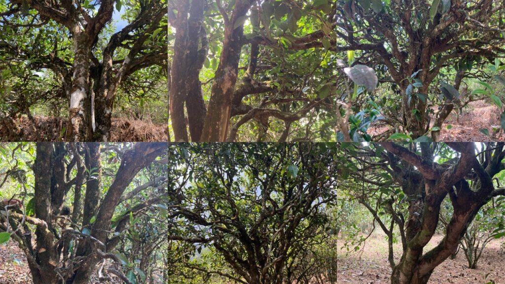150-400 Jahre alte Teebäume im Ming Feng Shan Teegarten