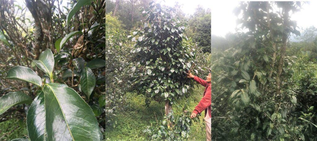 Wilde Teebäume in Da Xue Shan, Bezirk Yongde, Präfektur Lincang, Süd-Yunnan
